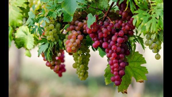 از 8 مزیت سلامتی انگور غافل نشوید